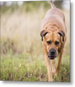 Boerboel Dog Metal Print