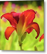 Bold Red Gold - Daylily Metal Print