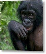 Bonobo Pan Paniscus Juvenile Orphan Metal Print
