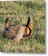 Booming Greater Prairie Chicken 5 Metal Print