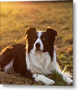 Border Collie At Sunset With Warm Colors Metal Print