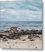 Borzoi Dog Stalking Alnmouth Beach Metal Print