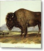 Bos Americanus, American Bison Metal Print
