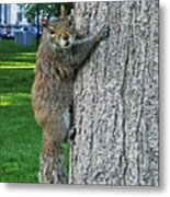Boston Common Squirrel Hanging From A Tree Boston Ma Metal Print