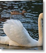 Boston Public Garden Swan Amongst The Ducks Ruffled Feathers Metal Print