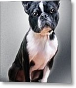 Boston Terrier By Spano Metal Print