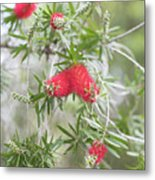 Bottlebrush Metal Print