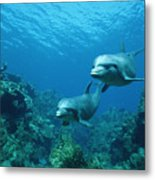 Bottlenose Dolphins And Coral Reef Metal Print