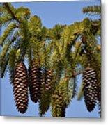 Boughs Of Pine Cones Metal Print