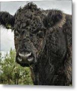 Bovine Beauty 2 Metal Print
