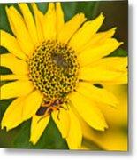 Box Elder Bug On False Sunflower Metal Print