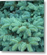 Branches Of Blue Spruce Metal Print