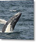 Breaching Humpback Whale Metal Print by Jim  Calarese
