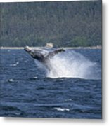 Breaching Whale Paint Metal Print