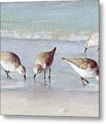 Breakfast On The Beach, Snowy Plover Sandpipers, Siesta Key, Wide-narrow Metal Print