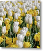 Breathtaking Field Of Blooming Yellow And White Tulips Metal Print