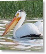 Breeding American White Pelican On Lower Sunshine Metal Print