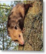 Brer Possum Metal Print by David Sutter