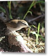 Breswick Wren On Tree Root 2 Metal Print