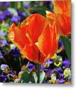 Bright And Colorful Orange And Red Tulip Flowering In A Garden Metal Print