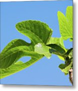 Bright Green Fig Leaf Against The Sky Metal Print