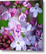 Bright Lilacs Metal Print by The Forests Edge Photography - Diane Sandoval