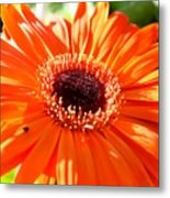 Bright Orange Gerbera  Metal Print