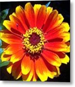 Bright Orange Zinnia Metal Print