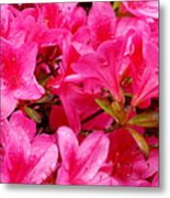 Bright Pink Rhododendrons Metal Print