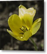 Bright Yellow Tulip Squared Metal Print