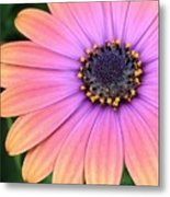 Briliant Colored Daisy Metal Print