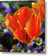 Brilliant Bright Orange And Red Flowering Tulips In A Garden Metal Print