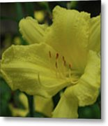 Brilliant Yellow Daylilies Flowering In A Garden Metal Print