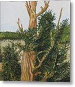 Bristle Wood Pine Metal Print