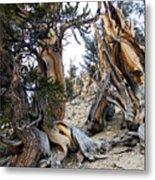 Bristlecone Forest, Ca November 2105 Metal Print