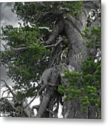 Bristlecone Pine Tree On The Rim Of Crater Lake - Oregon Metal Print