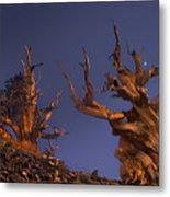 Bristlecone Pines At Sunset With A Rising Moon Metal Print