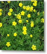 Bristly Buttercup Metal Print