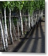 British Birch Metal Print