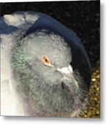British Pigeon Metal Print