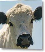 British White Cow Metal Print