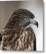 Broad-winged Hawk Metal Print