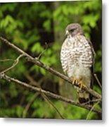 Broad Winged Hawk On The Lookout Metal Print