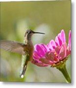Broadbilled Hummingbird Metal Print