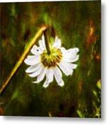 Broken Hearted Oxeye Daisy Asteraceae  Metal Print