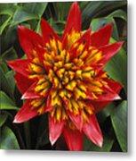 Bromeliad Blooming Metal Print