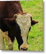 Brown And White Bull On A Farm Metal Print