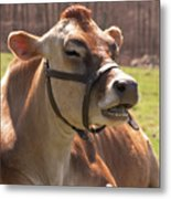 Brown Cow Chewing Metal Print