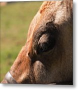 Brown Cow With Vignette Metal Print