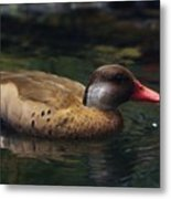 Brown Duck Metal Print